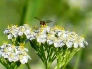 yarrow and bug