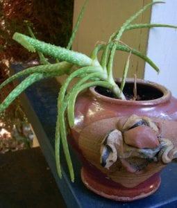 Aloe Vera is Hardy Houseplant