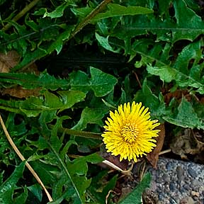 Dandelion: The Liver Cleanser