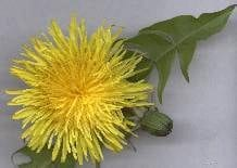 Dandelion Porter Recipe for Extract Brewing