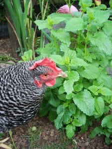 Mint Family Plants like Lemon Balm are Chicken Safe