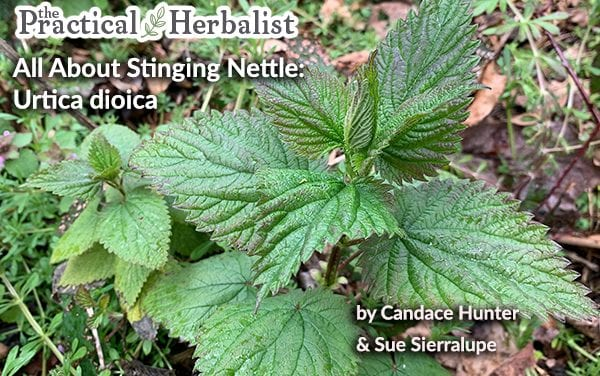 All About Stinging Nettle: Urtica Dioica Plant Medicine