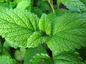 Lemon Balm: Herb of Good Cheer