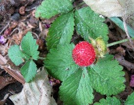 Strawberry: Nature's Toothpaste