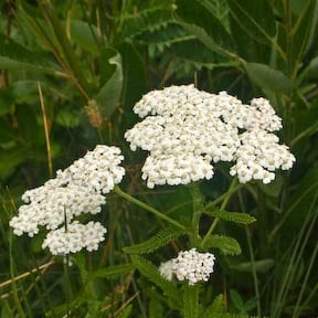 Yarrow: The Wound Healer