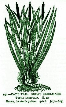 Cattail – Pocket Herbal