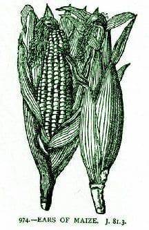 Corn Silk – Pocket Herbal