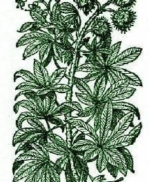 Horse Chestnut – Pocket Herbal