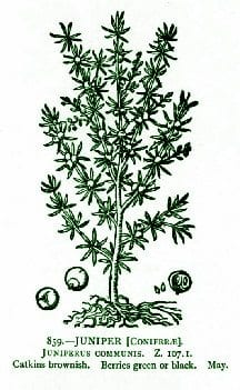 Juniper – Pocket Herbal