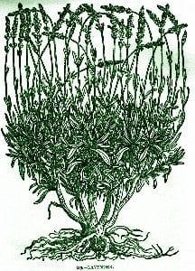 Lavender – Pocket Herbal
