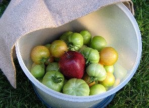 Easy Tips for Ripening Green Tomatoes
