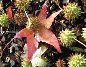 Sweet Gum Seed Pods as Slug and Snail Repellant