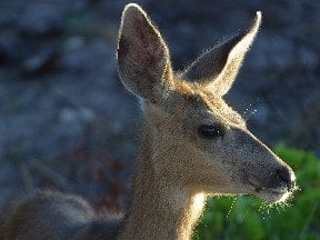 Easy Tips for Deer-Proofing Your Garden