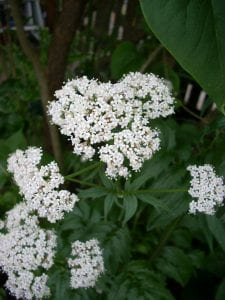 valerian flower