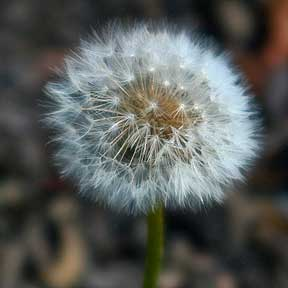 Dandelion History, Folklore, Myth and Magic