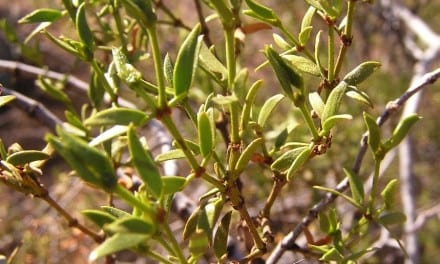 The Medicine Chest of the Desert: Larrea tridentata
