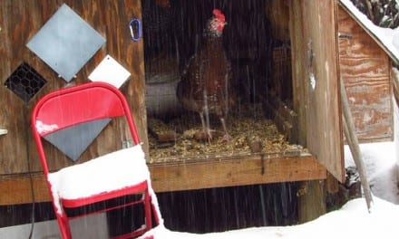 Warming the Chickens – The Shoestring Herbalist