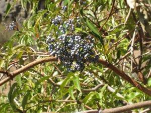 elderberry1