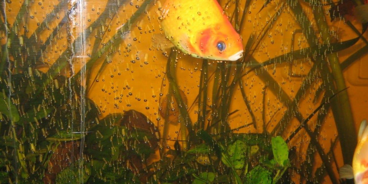 The Goldfish Gardener – Shoestring Herbalist