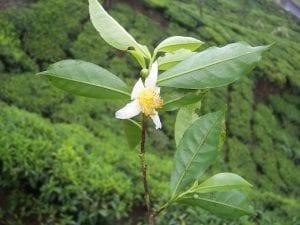 Camellia_sinensis_flower_tea