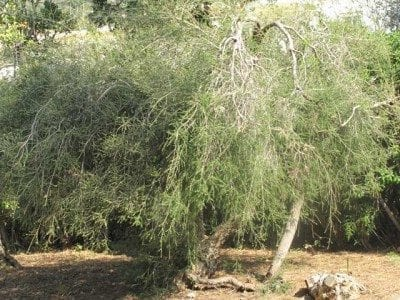 Tea Tree: Herb of the Shaman