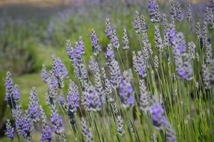 1024px-Lavender-4