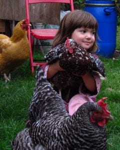 Chickens multitask as garden tools and entertainment centers.