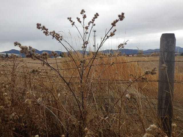 In this Apocalypse, Burdock is Worth the Risk