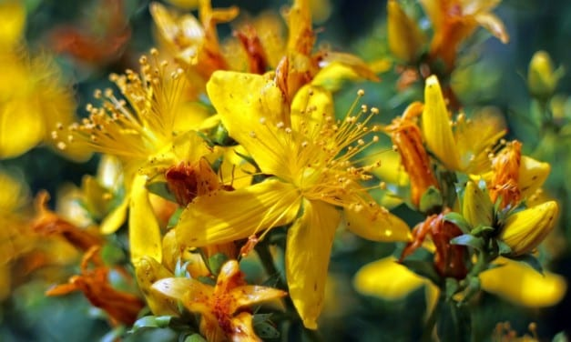 St. John's Wort: Antidepressant and Anxiety Herb