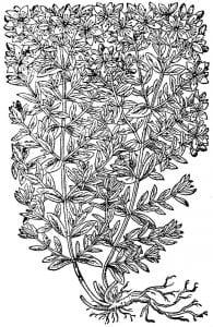 stjohnswort-woodcut