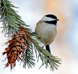 Douglas-fir is a Treat for Wildlife