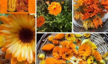 Calendula: Symbolizing Warmth, Better Communication, and Success