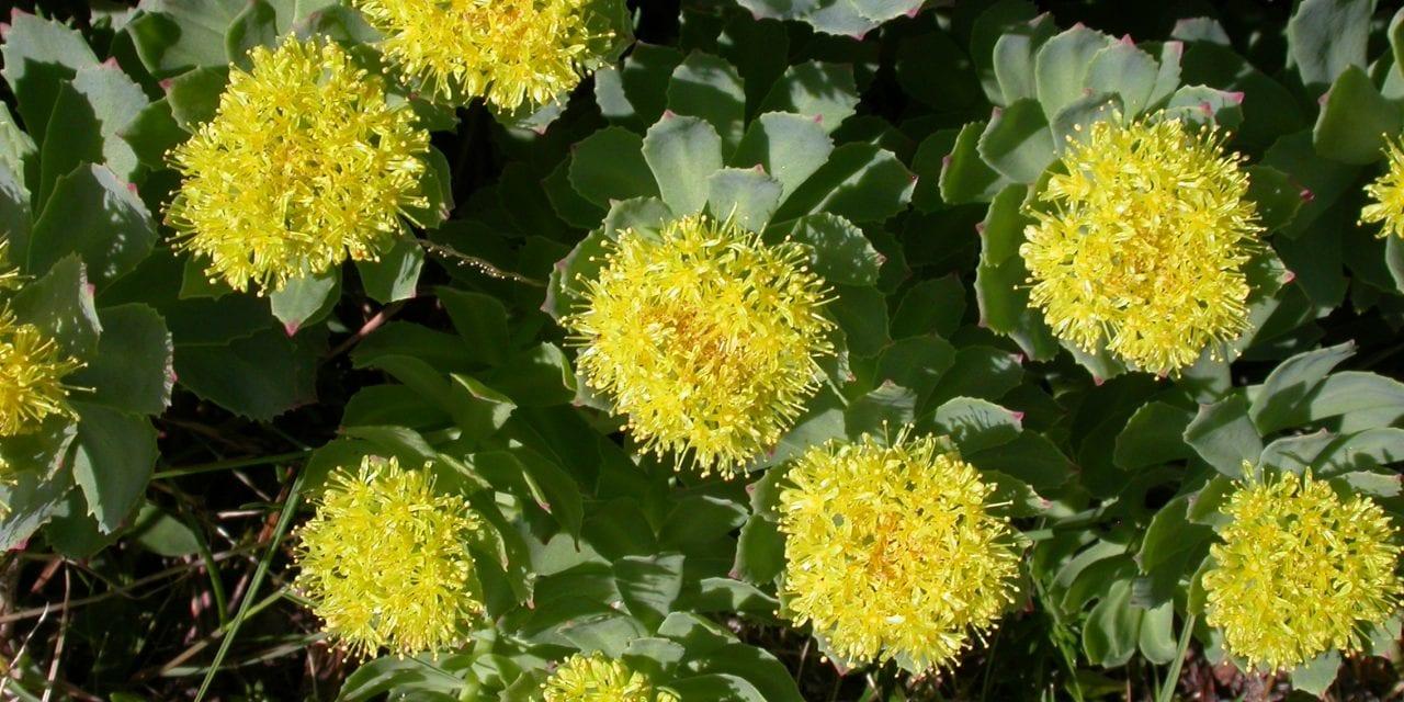 Roseroot – Herb of the North by Anna Rósa