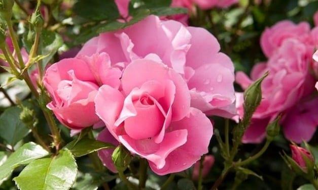 44.The Versatile Rose