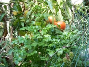 Tomatoes and Parsley Burst from Their Cages