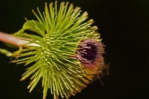 Burdock Flower photo courtesy of Morguefile