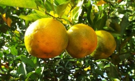 Bergamot Essential Oil Properties and Uses
