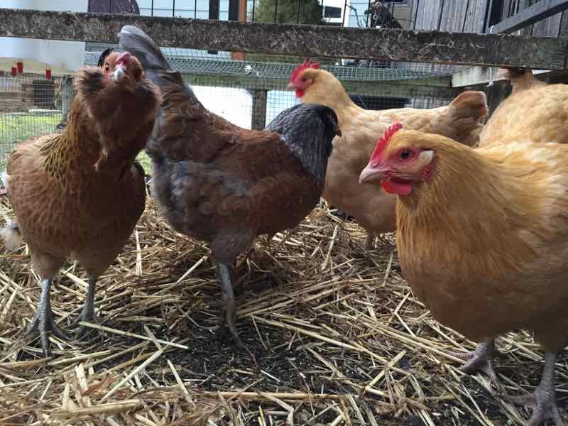 Urban Chicken Resources