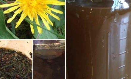 Dandelion Under Pressure: Oxymel Herbal Remedy for Allergies and Respiratory Recovery