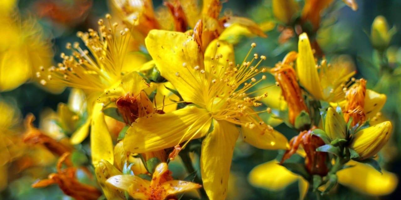Depression and Saint John's Wort: Practical Backyard Medicine