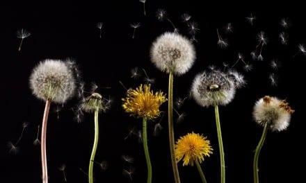 Hepatitis Bowed to Dandelion: A Clinical Memoir