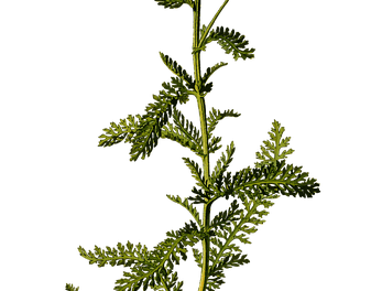 Yarrow: A Clinical Memoir
