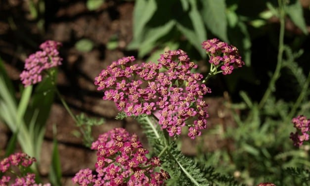Yarrow Heals Deep Wounds: Family Herbalism on All Levels