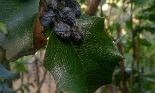 Berberine in Oregon Grape – How It Works