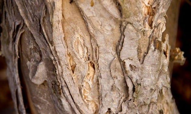 Beating Dandruff with Tea Tree: Melaleuca for Health and Beauty