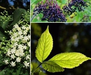 Elderberry and Flower Not Just for Flu: Using Elder for a Variety of Complaints