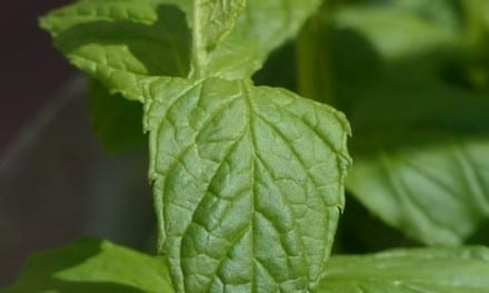 Spearmint Energetics: Cool, Gentle, Predictable Medicine