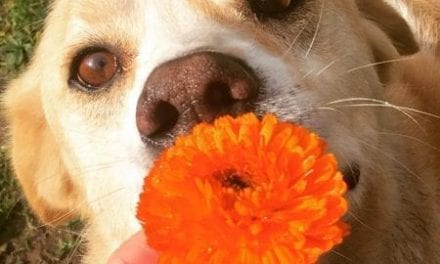 Herbal First Aid for Dogs and Cats – Calendula