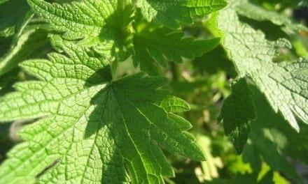 Motherwort Herbal Properties and Energetics