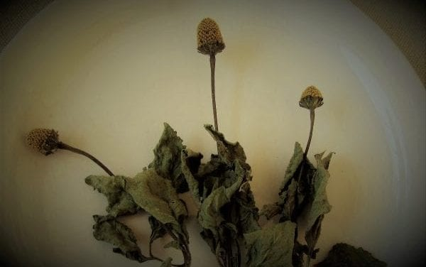 Spilanthes: Toothache Plant with Buzz Buttons